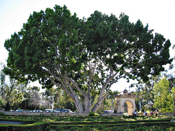Tree at Balboa Park in San Diego California